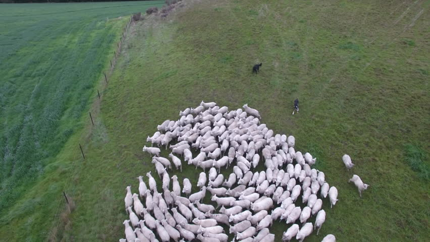 Aerial view of sheep being moved on farm using sheep dogs. New Zealand