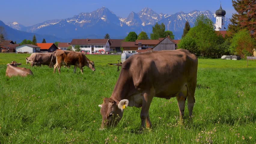 Dairy cows on a mountain pasture in the Allgaeu near Bayerniederhofen, Allgaeu, Bavaria, Germany, Europe