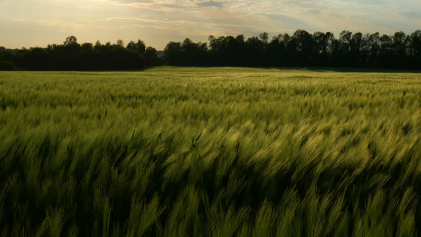 Green wheat stalks blow in the wind. Natural Wheat field. Bueutiful nature wheat field with clouds in sunny day.