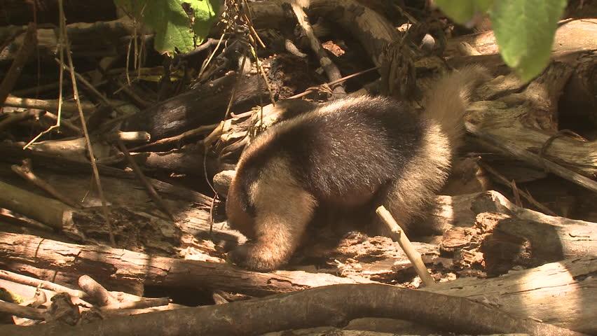 Tamandua Lone Eating Northern Anteater in Costa Rica