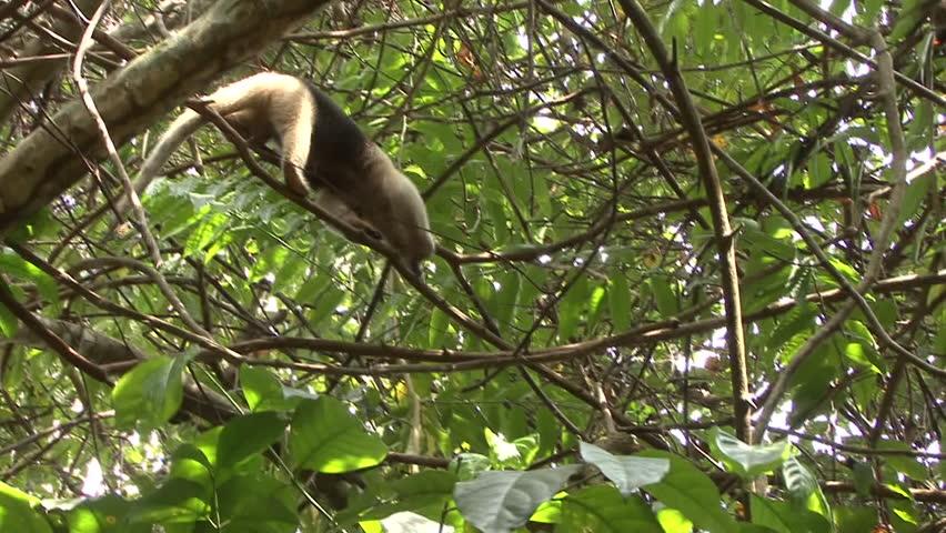 Tamandua Adult Lone Walking Northern Branches in Costa Rica