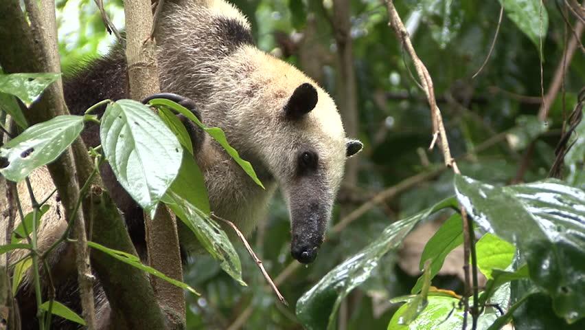 Tamandua Lone Northern Rain Raining in Costa Rica