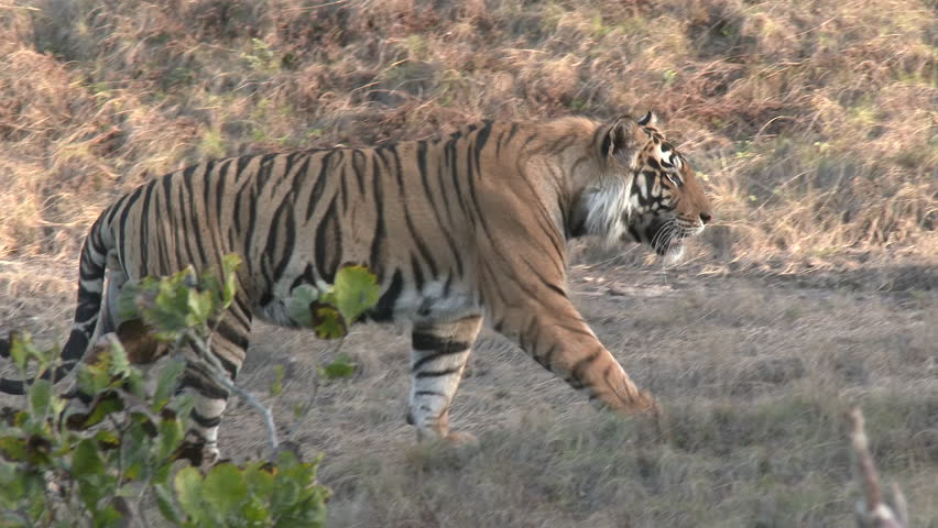 Bengal Tiger Male Adult Lone Walking in Spring in India