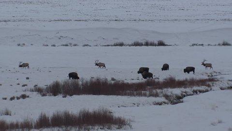 Elk Bull Male Adult Several Walking in Winter Snow Landscape in Wyoming