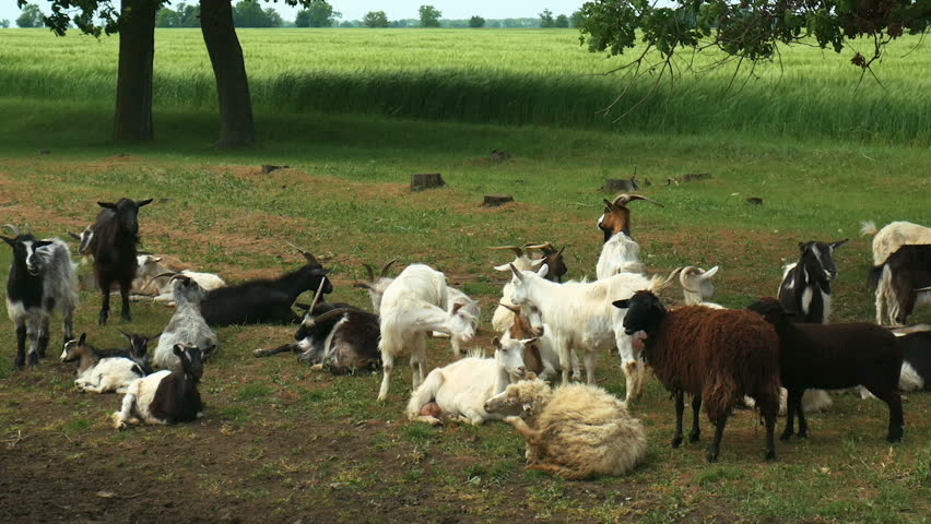 Funny goat on the farm. Herd of goats on nature pasture. Wildlife and ecology. | Shutterstock HD Video #1011649646
