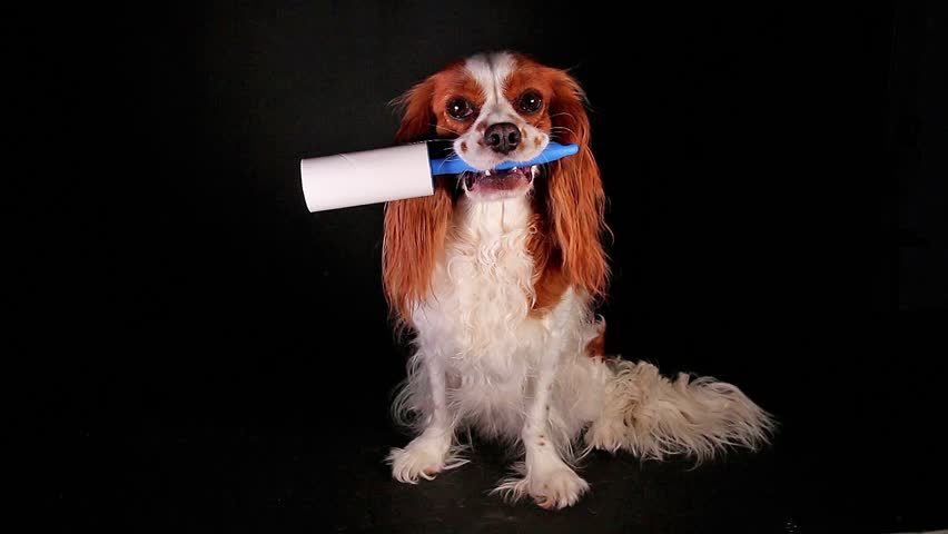 Dog with lint roller to avoid fur shedding. | Shutterstock HD Video #1011668084