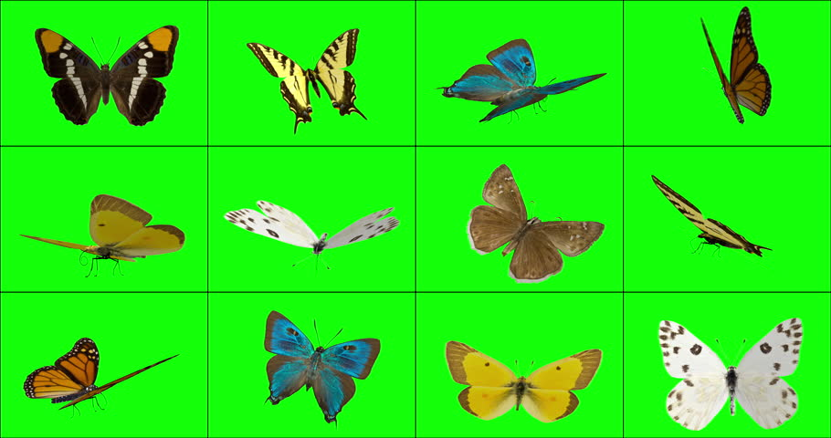 12 options of 3D animated butterflies that are landed, from various angles, occasionally fluttering their wings. Key out green to have butterflies standing on your titles, logo, or objects in footage.