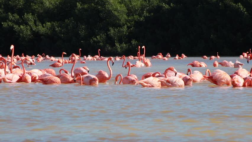Group of pink flamingos at the water. Flamingoes at Celestun Biosphere Reserve, Yucatan, Mexico