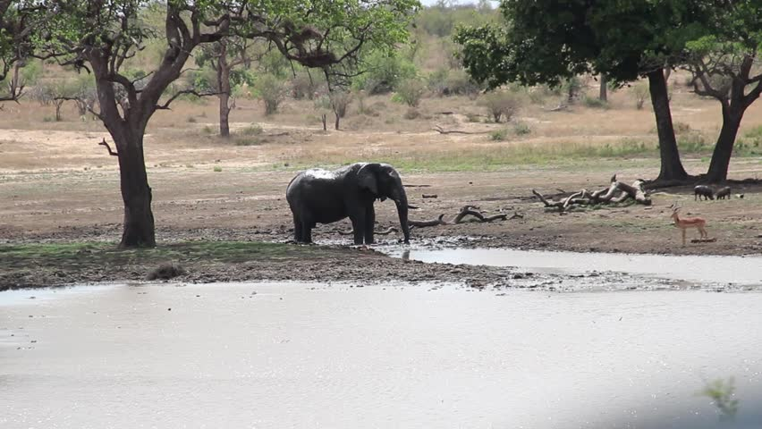 Elephant refreshing near an impala in the African savannah, Kruger National Park, South Africa | Shutterstock HD Video #1011804983