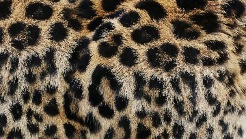 Close up, slow motion of moving leopard hair. African wild cat fur. Beautiful exotic animal background, abstract natural animation.