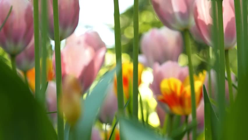Pink Tulips. Flower bed or garden with different varieties of tulips. Beautiful flowers close-up | Shutterstock HD Video #1011869603