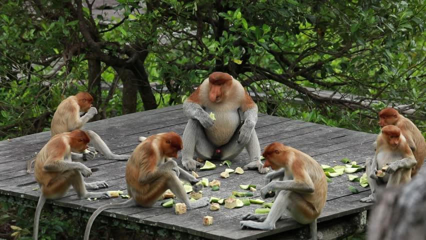 Feeding time , Proboscis monkey (Nasalis larvatus) sanctuary