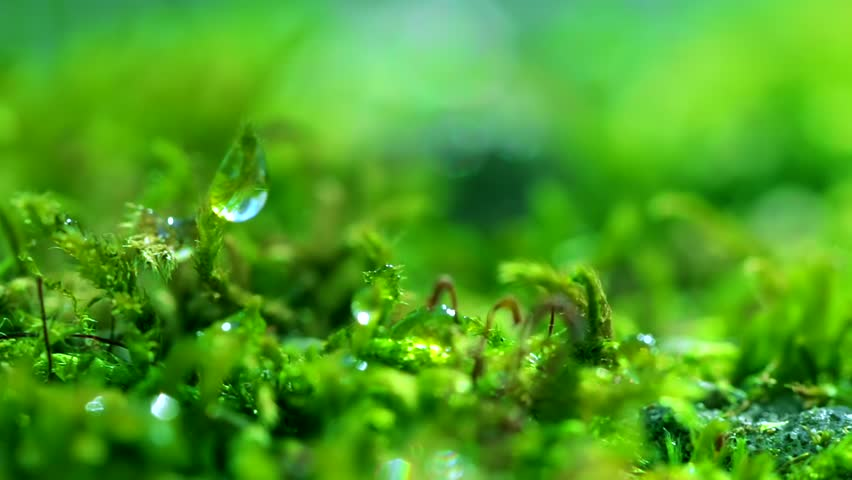 Shot macro plan green moss with raindrops, a dew of the morning. #1011893897