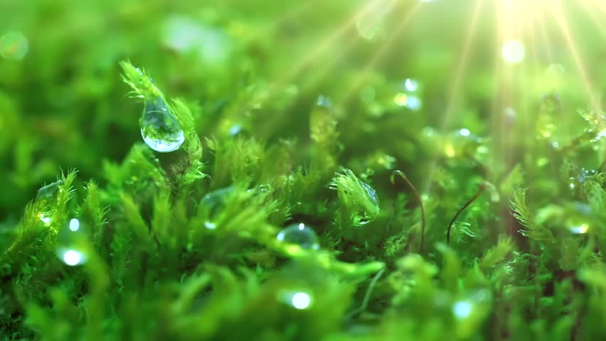 The sun's rays falling into the lens. Shot macro plan green moss with raindrops, a dew of the morning. #1011894113