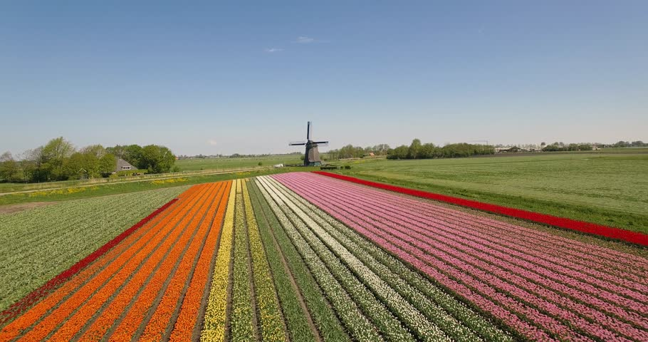 Drone flies over colorful tulip fields towards a windmill on a sunny day with a clear blue sky in the Netherlands Aerial Drone footage 4K Royalty-Free Stock Footage #1011929453