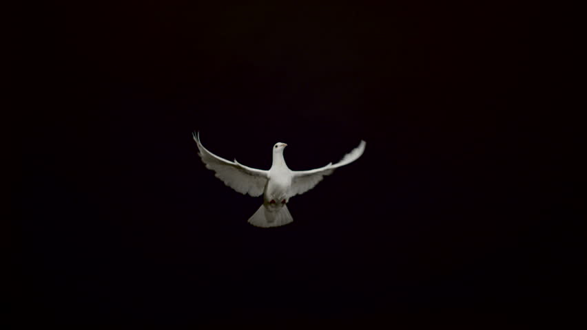 White pigeon flying on black background, Ultra Slow Motion | Shutterstock HD Video #1011943352