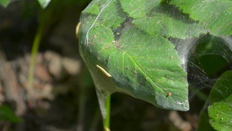 Catepillar larva worm crawling on plant leaf surface covered in cobweb tissue