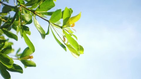 Close up leaves of Ivory Coast Almond Tree blowing in the wind with sky background, Nature background.