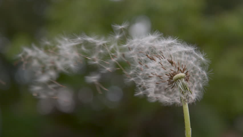 SLOW MOTION, CLOSE UP, COPY SPACE, DOF: Fragile white dandelion blossom gets blown away by the spring wind. Beautiful shot of fluffy white seeds flying into the distance. Flower blossom is swept away.