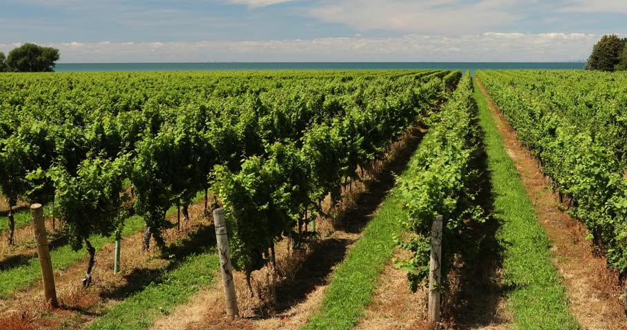 Winery grapes on a farm in Niagara Falls Ontario Canada