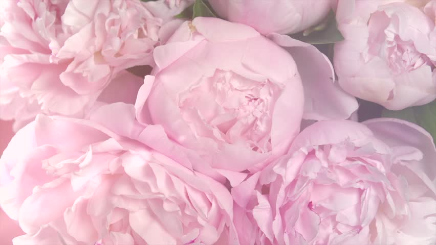 Beautiful pink Peony bouquet background. Blooming peony flowers open, time lapse, close-up. Wedding backdrop, Valentine's Day concept. 4K UHD video timelapse