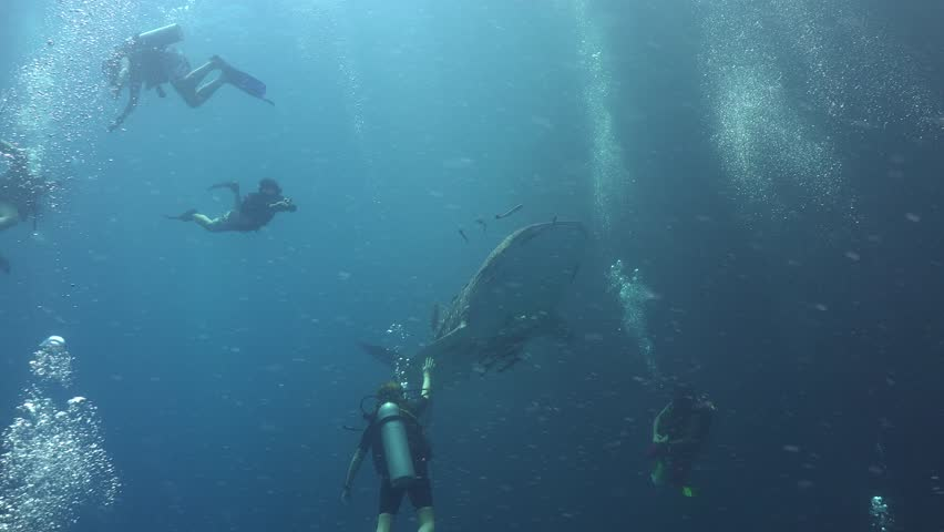 Whale shark (Rhincodon typus) and freediver  | Shutterstock HD Video #1012119941