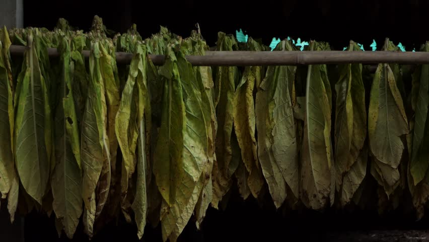 Farmer piling harvested tobacco leaves.4k   Shutterstock HD Video #1012151576