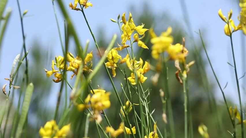 Spartium Junceum Commonly Known As Stock Footage Video 100 Royalty Free 1012156436 Shutterstock