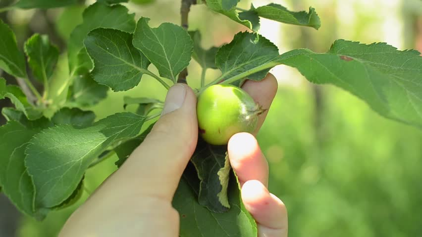 Male hand checking unripe apple in an orchard. Closeup shot.