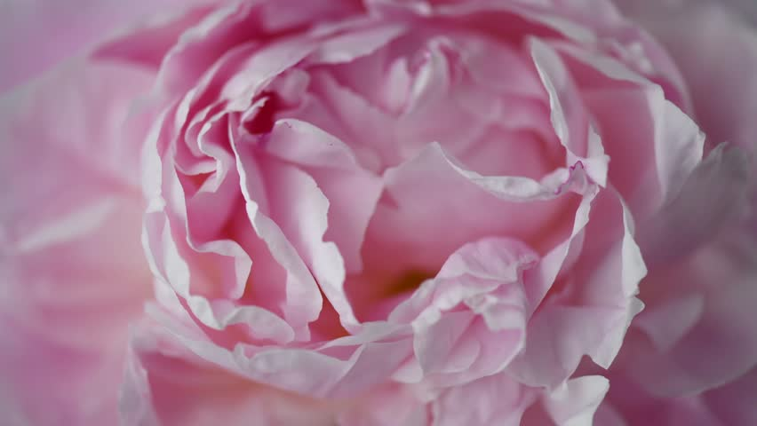 Beautiful pink Peony background. Blooming peony flower open, time lapse, close-up. Wedding backdrop, Valentine's Day concept. 4K UHD video timelapse #1012190651