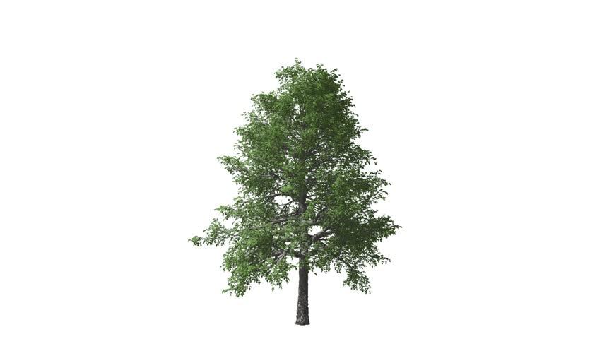 Growing tree wood luma matte key Alpha   Shutterstock HD Video #1012207154
