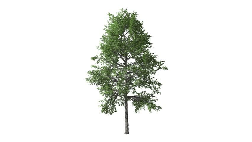 Growing tree wood luma matte key Alpha   Shutterstock HD Video #1012207178