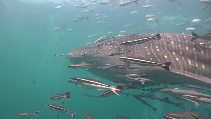 Remoras around Whale shark (Rhincodon typus) | Shutterstock HD Video #1012212785