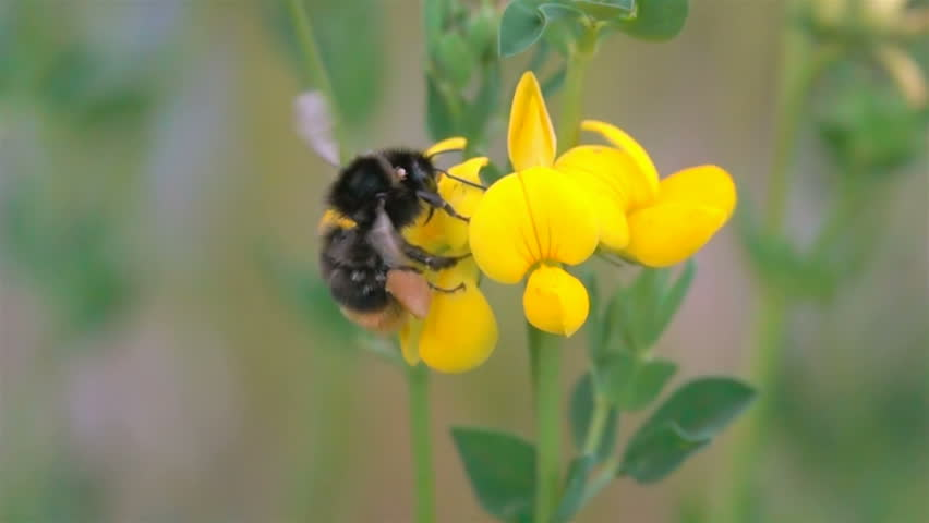 Bee BumbleBee Flying on Yellow Flowers with  many Pollen   Shutterstock HD Video #1012216226