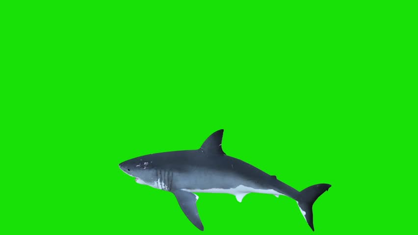White Shark Swim in a Circle Green Screen 3D Rendering Animations