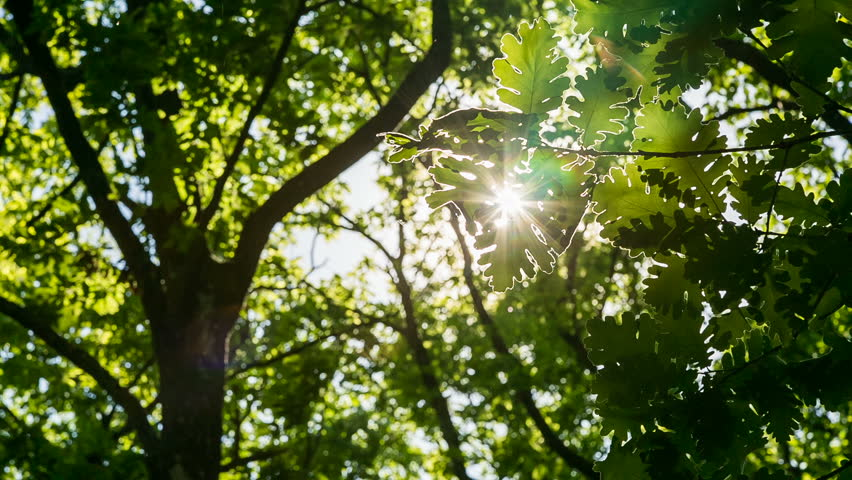 Green oak leaves against bright sun Close UpSun shining through leaves, nature background. | Shutterstock HD Video #1012238444