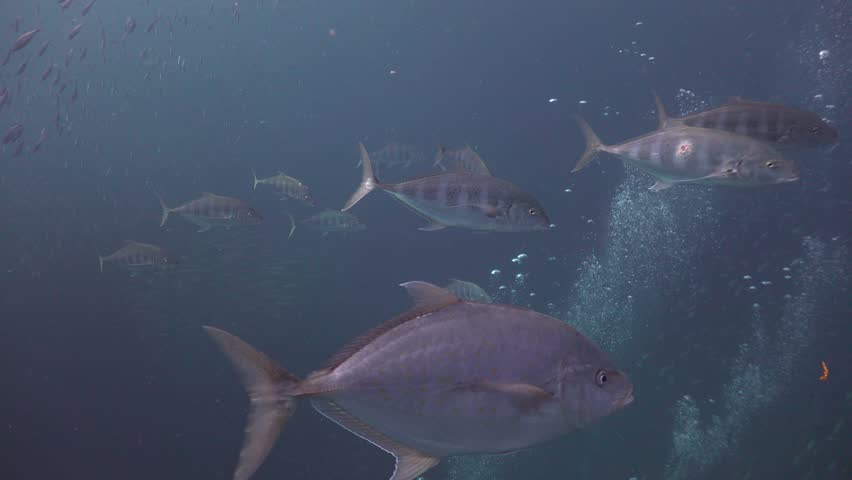 The group of Trevally, Bludger hunts together  | Shutterstock HD Video #1012240751