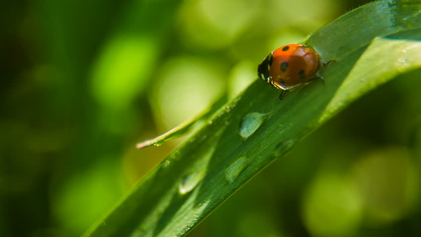 Closeup of the lady bug in the green grass.Macro shot.