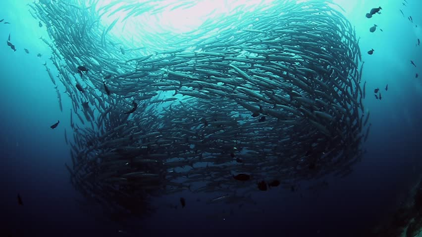School of barracuda fish. Flock of barracuda fish.