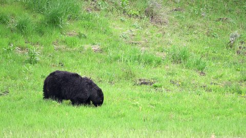 Powerful black bear sow in field grazing on grass in Yellowstone.