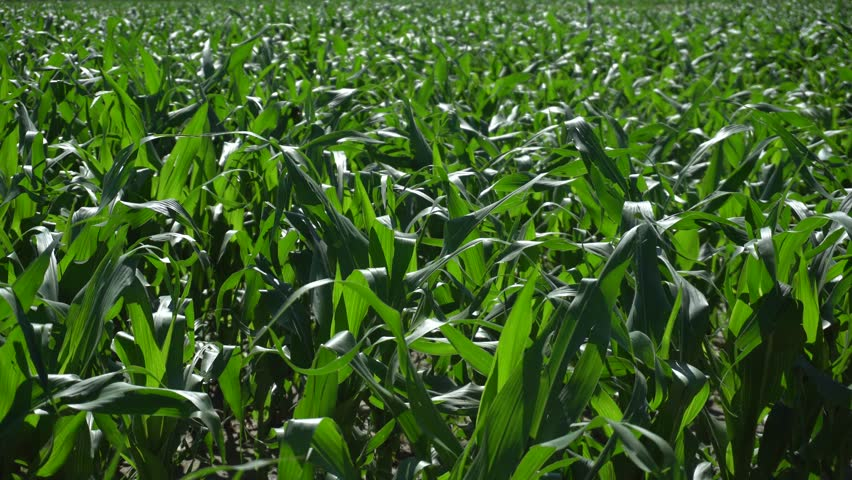 Close Up of Corn Plants moved a Breeze in Summer | Shutterstock HD Video #1012347443