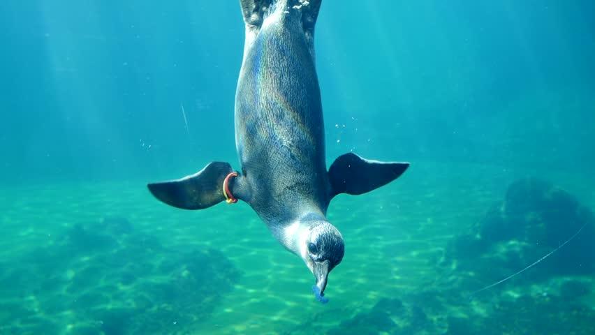 penguin life, underwater inhabitants eat food in big aquarium close-up #1012368602