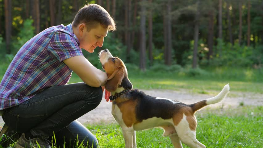 Young Beagle Dog Gently Touch Stock Footage Video (100 ...