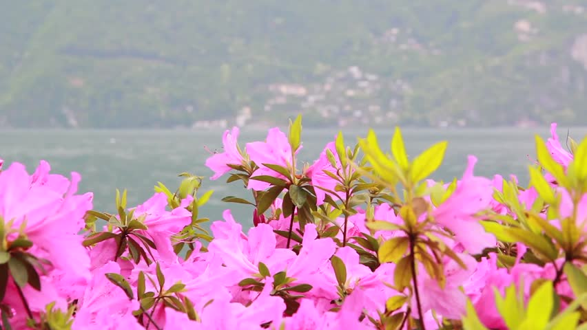 View of flowers with a background on a lake and mountains | Shutterstock HD Video #1012400711