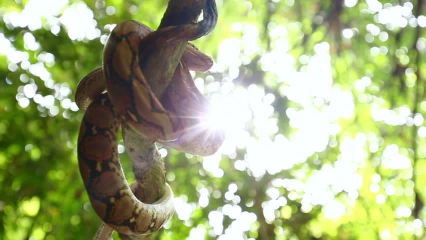 Handheld camera movement footage of Python wild snake sleeping on the tree hanging on river wild. Silhouette of Python on the tree. Animal wildlife background concept and free space for text.