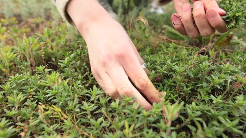 Woman hands picking up fresh green thyme growing in the meadow. Closeup shot. Low angle. Front view. Royalty-Free Stock Footage #1012431023
