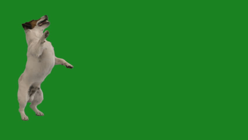 Jack russell terrier dancing on a green screen