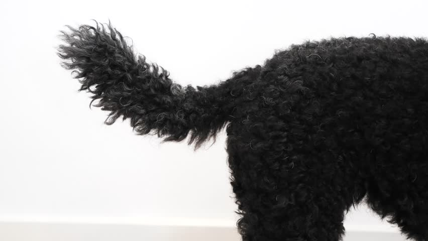 Black dog wags his tail, close up | Shutterstock HD Video #1012467188