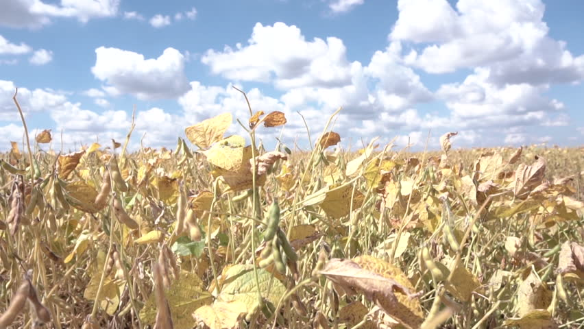 Soybean field. Slow motion video.  Sunny fall day.  | Shutterstock HD Video #1012471205