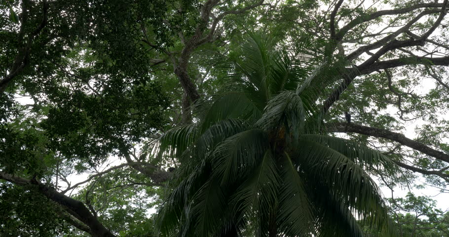 Just Trees Of Costa Rica, Native 4:2:2, 10 Bit Material, straight out of the cam.   Shutterstock HD Video #1012474571